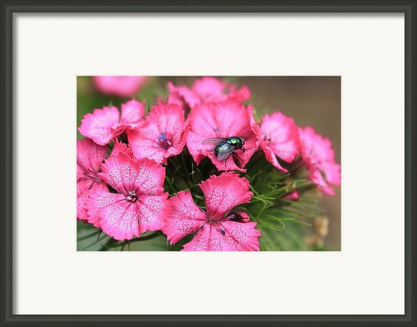 Phlox And Fly Framed Print By Scott Hovind