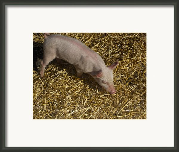 Pig. Yummy Roasted Framed Print By Michael Clarke Jp