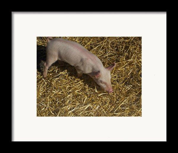 Pig. Yummy Roasted Framed Print By Michael Clarke Jp