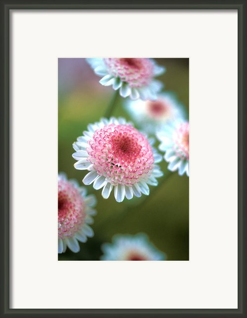 Pincushion Flowers Framed Print By Kathy Yates