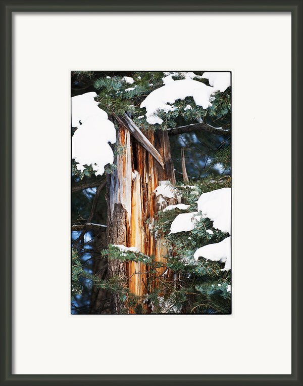 Pine Bark Framed Print By Lisa  Spencer