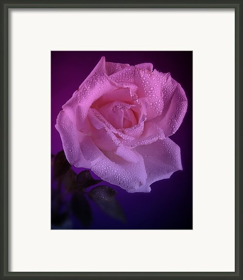Pink And Blue Rose In The Rain Framed Print By M K  Miller