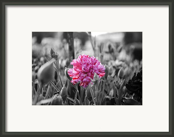 Pink Carnation Framed Print By Sumit Mehndiratta