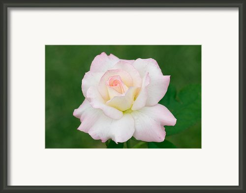 Pink Edge White Rose Framed Print By Atiketta Sangasaeng