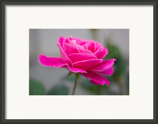 Pink Flower Framed Print By Milos Dacic