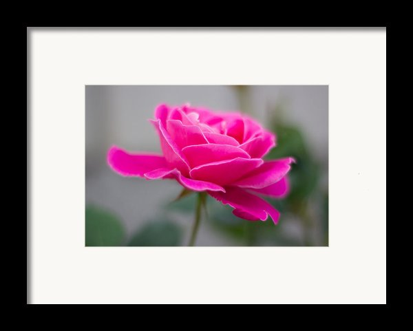 Pink Flower Framed Print By Milos Dacic