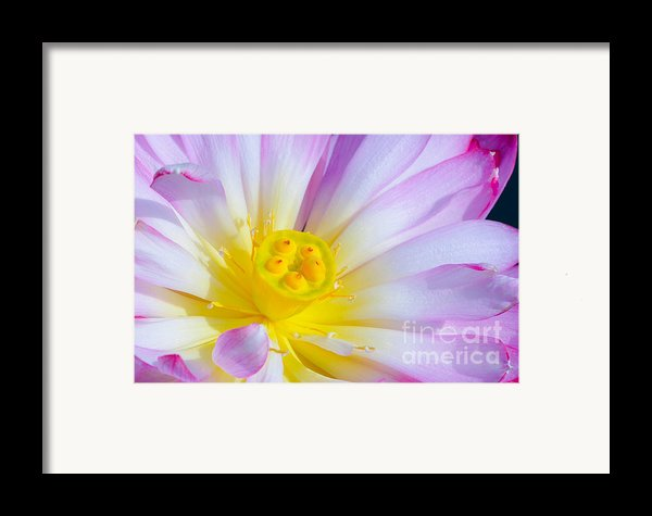 Pink Lotus 4 Framed Print By Julie Palencia