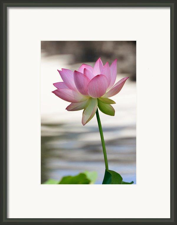 Pink Lotus Vertical Framed Print By Dina Calvarese