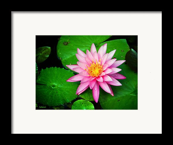 Pink Nymphaea Framed Print By Lisa  Spencer