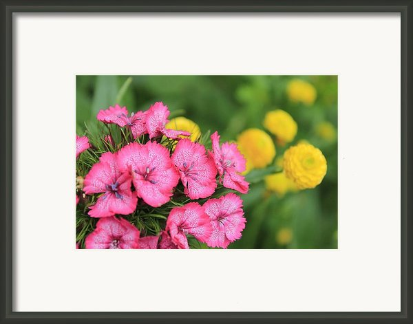 Pink Phlox And Yellow Buttons Framed Print By Scott Hovind