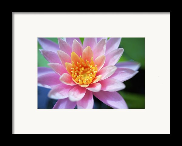 Pink Water Lily Framed Print By Kicka Witte