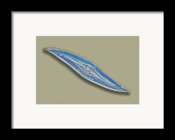 Pleurosigma Sp Diatom, Light Micrograph Framed Print By Frank Fox