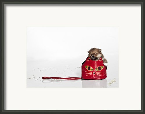 Pomeranian 2 Framed Print By Everet Regal