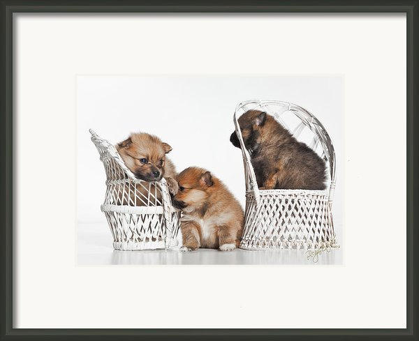 Pomeranian 3 Framed Print By Everet Regal