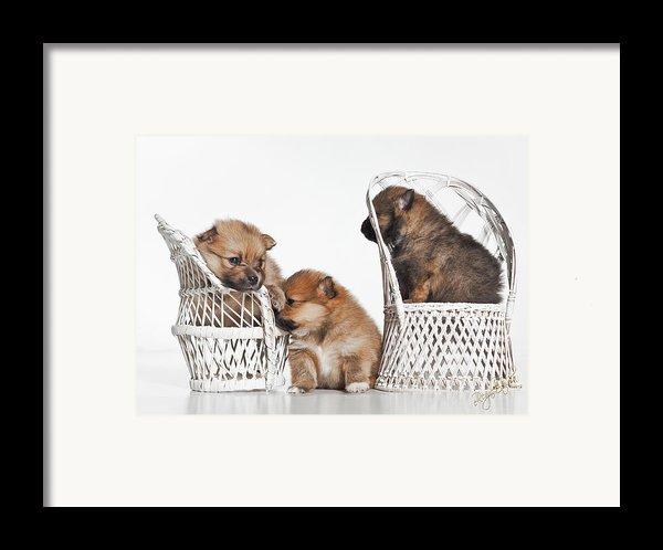 Pomeranian 3 Framed Print By Everet Regal