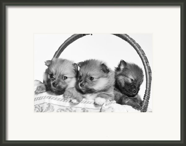 Pomeranian Framed Print By Everet Regal