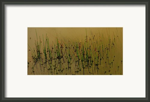 Pond Grasses Framed Print By Greg Vandeleest