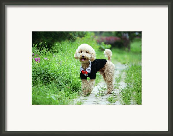 Poodle Wearing Suit Framed Print By Photography By Bobi