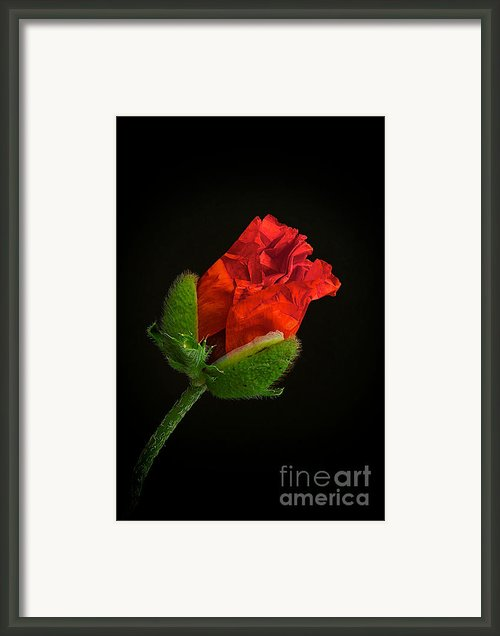 Poppy Bud Framed Print By Toni Chanelle Paisley