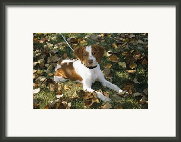 Portrait Of A Brittany Spaniel Puppy Framed Print By Paul Damien