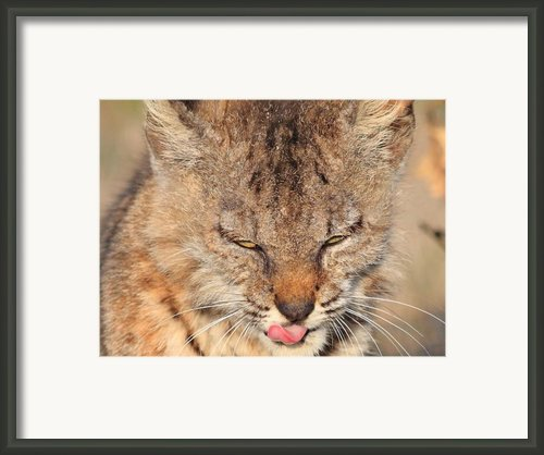 Portrait Of A Young Bob Cat 02 Framed Print By Wingsdomain Art And Photography