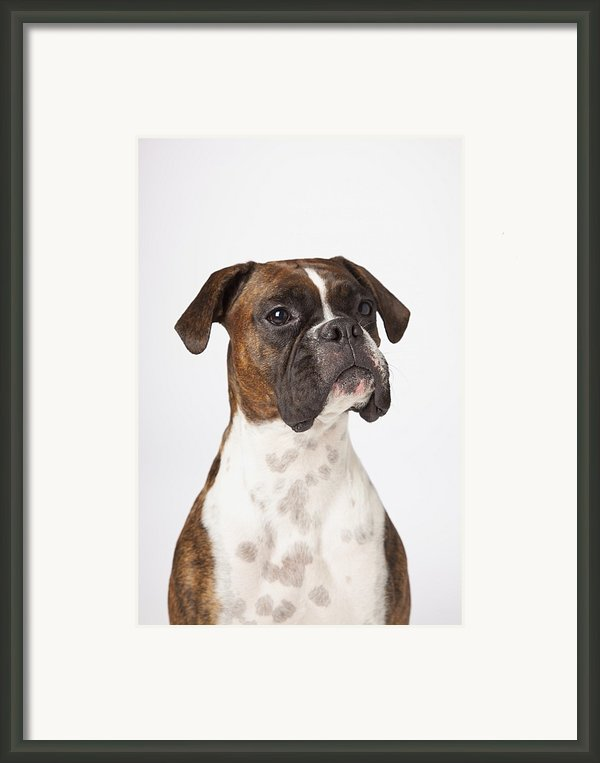 Portrait Of Boxer Dog On White Framed Print By Ljm Photo