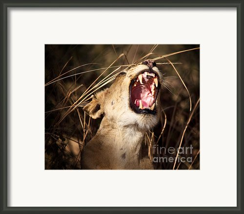 Portrait Of Lioness Framed Print By Gualtiero Boffi