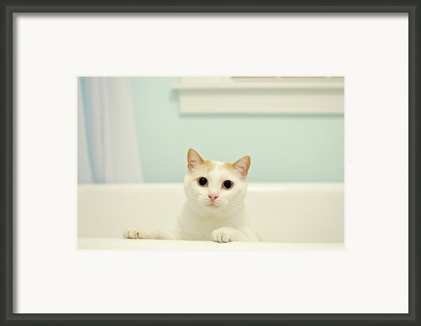 Portrait Of White Cat Framed Print By Melissa Ross
