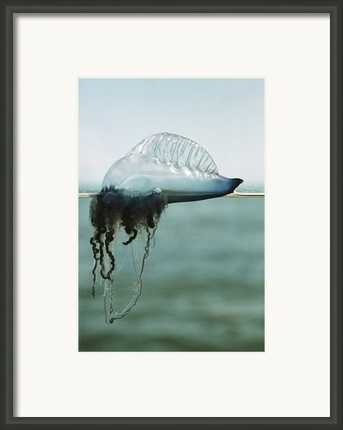 Portuguese Man-of-war Framed Print By Peter Scoones