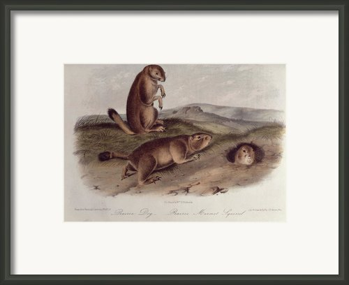 Prairie Dog Framed Print By John James Audubon