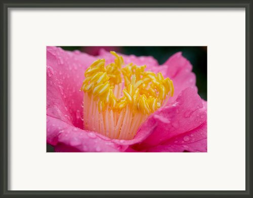 Pretty In Pink Framed Print By Rich Franco
