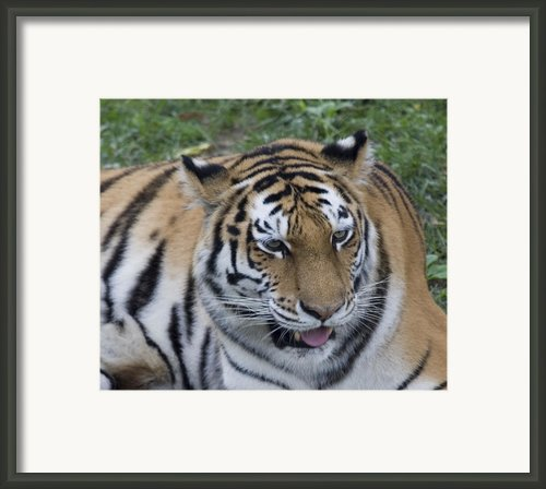Pretty Kitty Framed Print By Deborah Molitoris