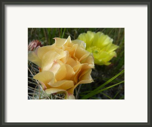 Prickly Pear Blossoms 2 Framed Print By Estephy Sabin Figueroa