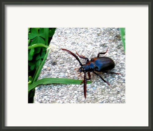 Prionus Coriarius Or Sawying Suport Beetle Framed Print By The Kepharts