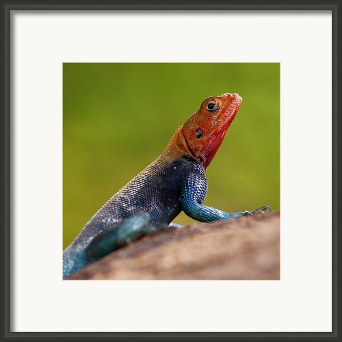 Profile Of Male Red-headed Rock Agama Framed Print By Achim Mittler, Frankfurt Am Main