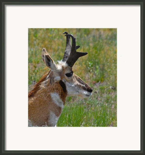 Pronghorn Buck Profile Framed Print By Karon Melillo Devega