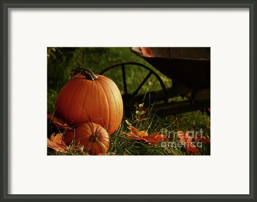 Pumpkins In The Grass Framed Print By Sandra Cunningham