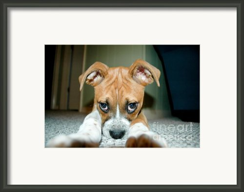 Puppie Dog Eyes Framed Print By Maureen Norcross