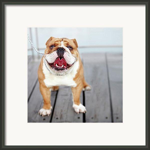 Puppy Dog Breed English Bulldog Framed Print By Maika 777