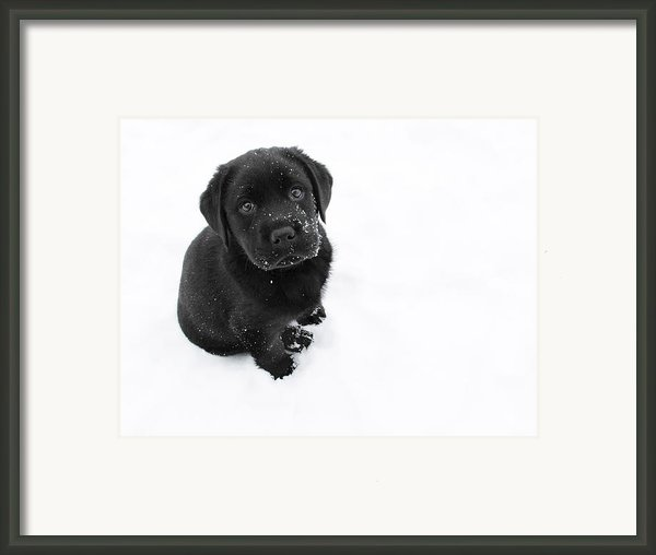 Puppy In The Snow Framed Print By Larry Marshall