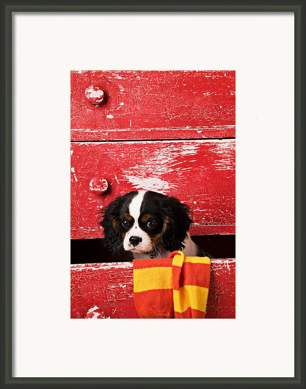 King Charles Cavalier Puppy  Framed Print By Garry Gay