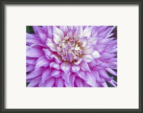 Purple Dalia Framed Print By James Steele