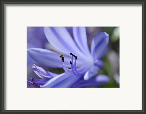 Purple Flower Close-up Framed Print By Sami Sarkis