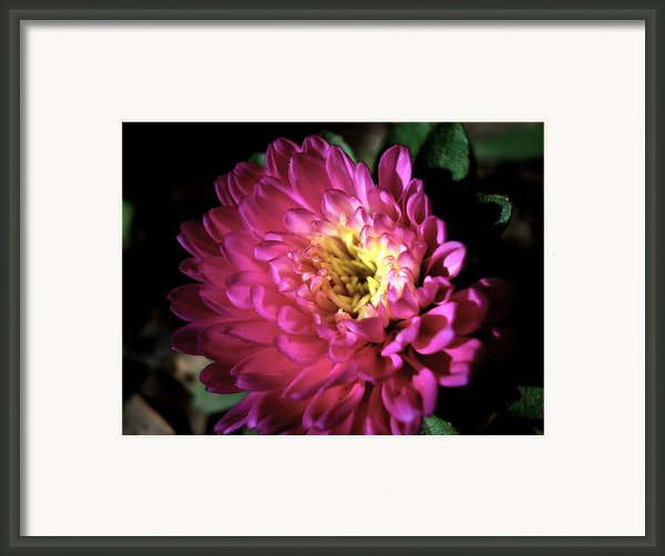 Purple Flower Framed Print By Sumit Mehndiratta