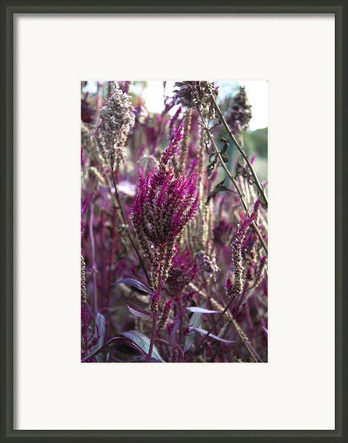 Purple Haze Framed Print By Bill Cannon
