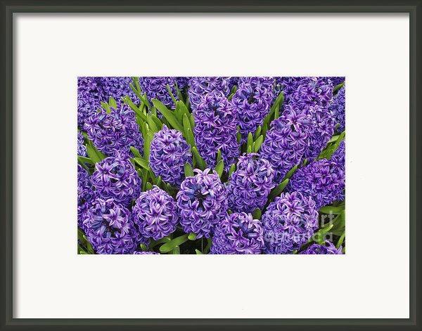 Purple Hyacinth Flowers Framed Print By Adam Jones And Photo Researchers