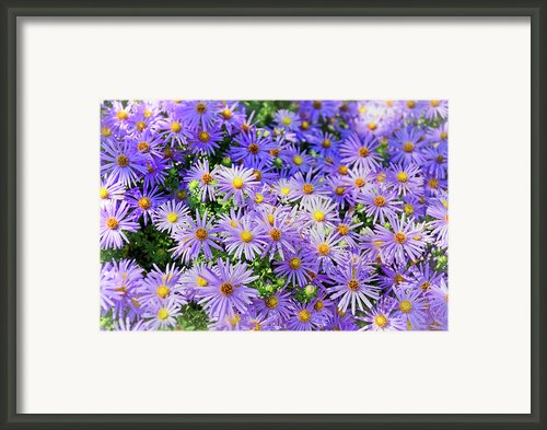 Purple Reigns Framed Print By Joan Carroll