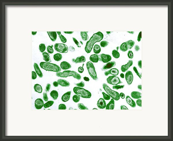Q Fever Bacteria, Coxiella Burnetii, Tem Framed Print By Niaidcdc