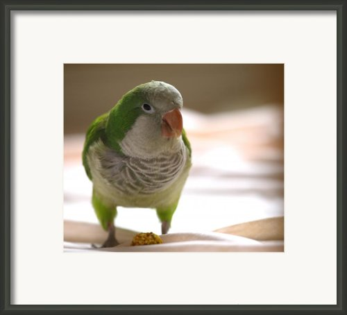 Quaker Parrot Framed Print By Mark Platt