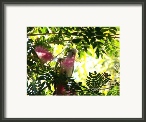 Quaker Parrot With Mimosa Flower Framed Print By Theresa Willingham